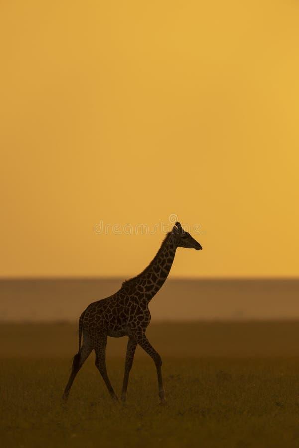 Giraf silhoutte bij zonsondergang bij masai Mara Game Reserve, Kenia stock fotografie