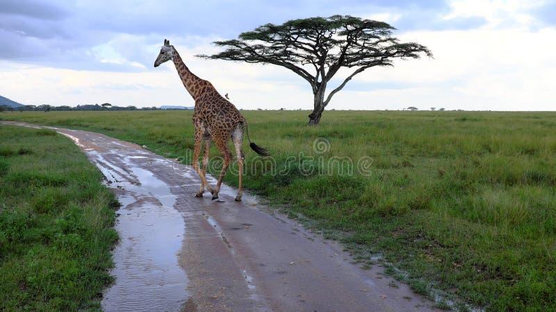 Giraf terwijl safari in Serengeti, Tanzania, Afrika stock afbeeldingen