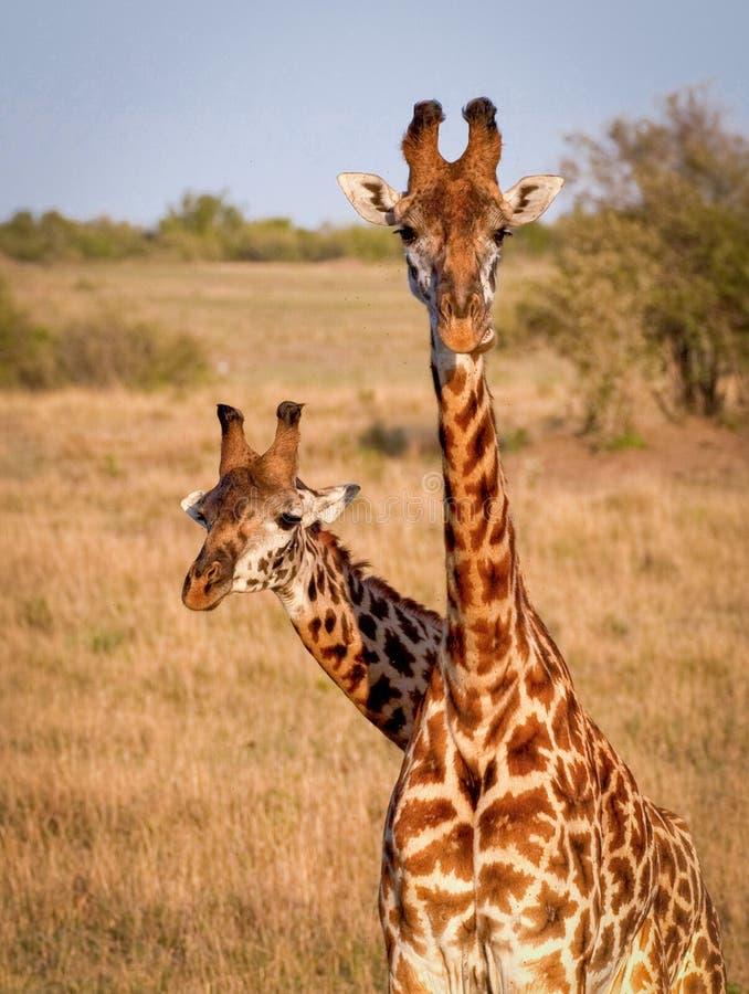 Giraf twee die zich verenigen royalty-vrije stock afbeelding