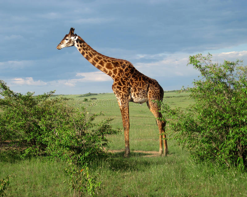 Giraf Volledig Lichaam in Kenia royalty-vrije stock fotografie