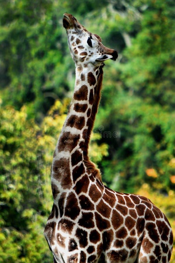 Giraf zijprofiel stock fotografie
