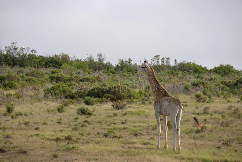 Girafa 1, África do Sul foto de stock royalty free