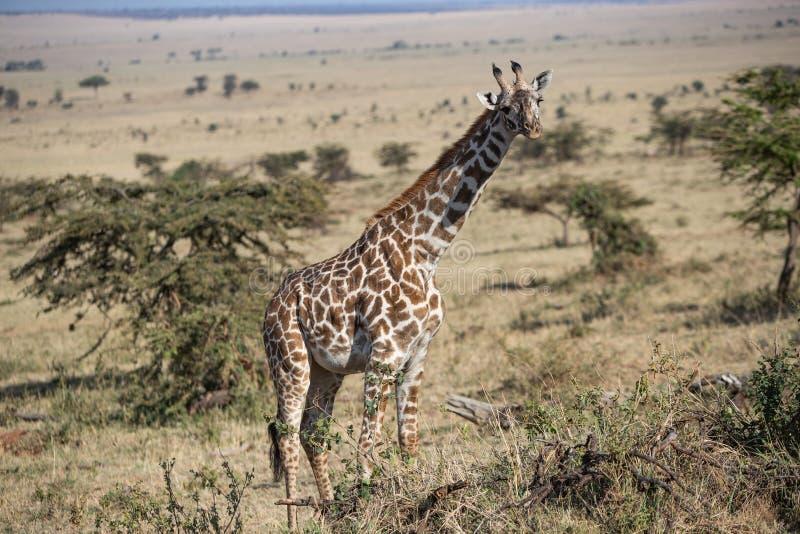 Girafa foto de archivo