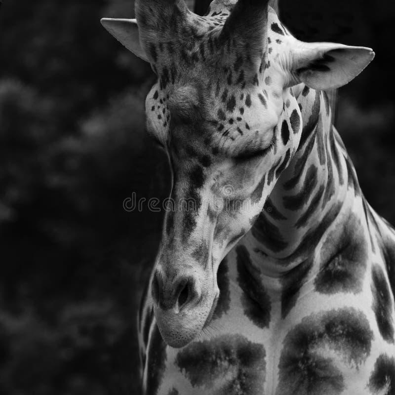 Girafa fotos de stock royalty free