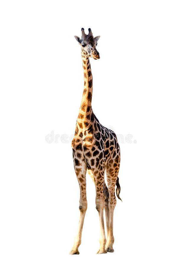 Girafa africano isolado no fundo branco Animal selvagem fotografia de stock royalty free