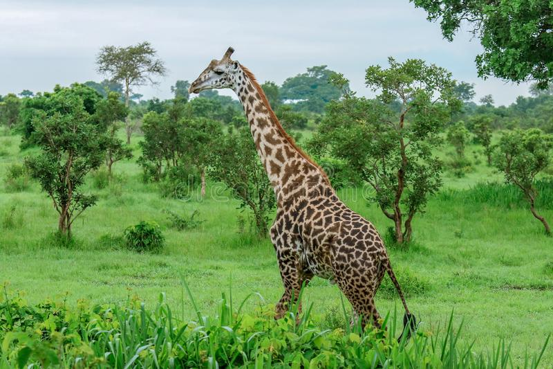 Girafa africano selvagem que anda no parque nacional de Mikumi, Tanzânia imagens de stock royalty free