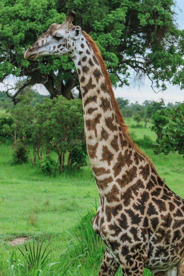 Girafa africano selvagem que anda no parque nacional de Mikumi, Tanzânia foto de stock