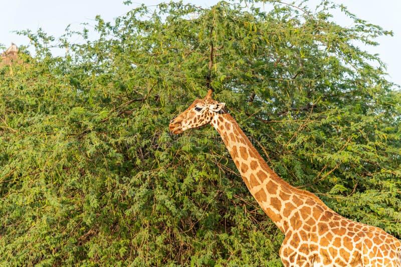 Girafa alto animal selvagem bonito em Al Ain Zoo Safari Park, Emiratos ?rabes Unidos foto de stock