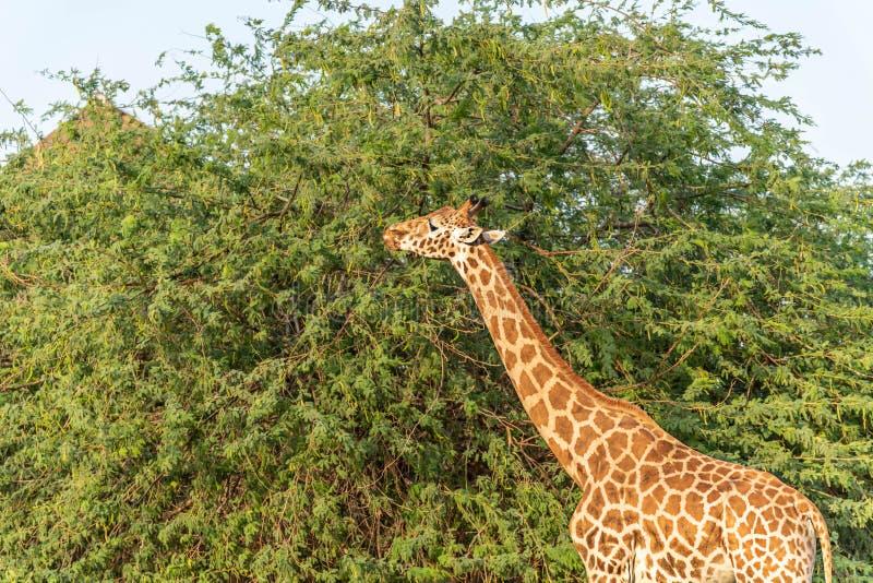 Girafa alto animal selvagem bonito em Al Ain Zoo Safari Park, Emiratos ?rabes Unidos fotografia de stock