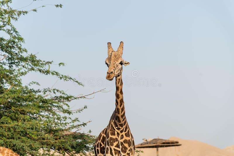 Girafa alto animal selvagem bonito em Al Ain Zoo Safari Park, Emiratos ?rabes Unidos fotografia de stock royalty free