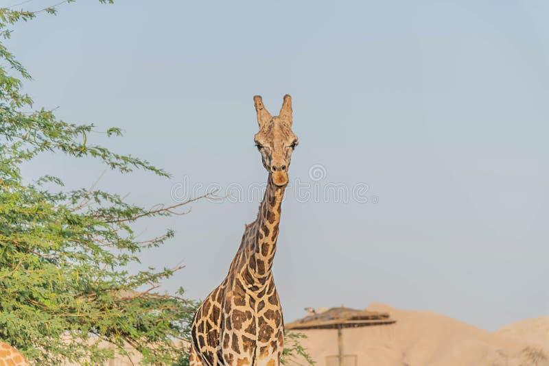 Girafa alto animal selvagem bonito em Al Ain Zoo Safari Park, Emiratos ?rabes Unidos imagem de stock royalty free