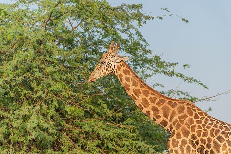Girafa alto animal selvagem bonito em Al Ain Zoo Safari Park, Emiratos ?rabes Unidos fotos de stock