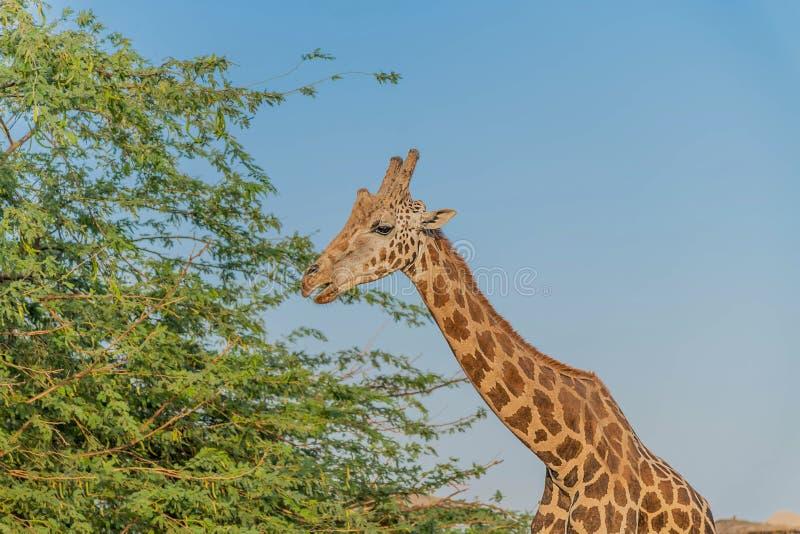 Girafa alto animal selvagem bonito em Al Ain Zoo Safari Park, Emiratos ?rabes Unidos foto de stock royalty free