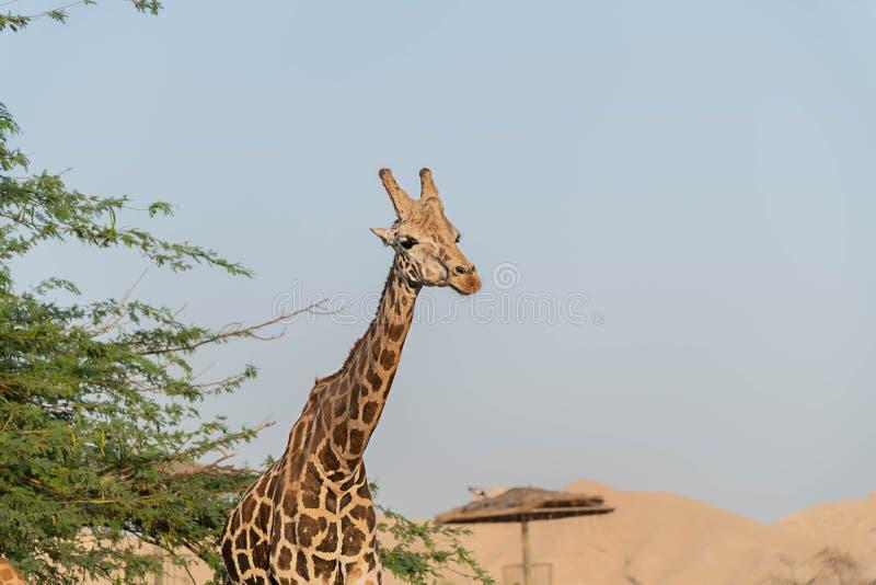 Girafa alto animal selvagem bonito em Al Ain Zoo Safari Park, Emiratos ?rabes Unidos fotos de stock royalty free