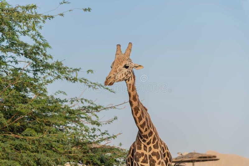 Girafa alto animal selvagem bonito em Al Ain Zoo Safari Park, Emiratos ?rabes Unidos imagens de stock