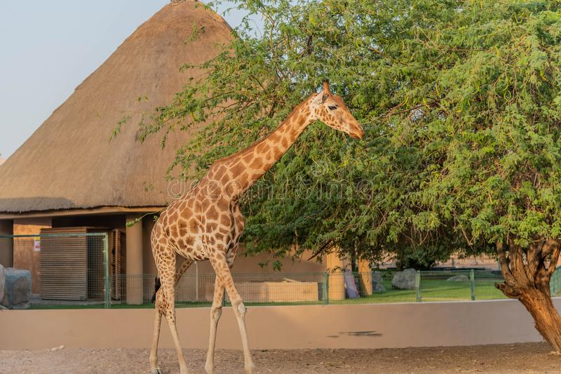 Girafa alto animal selvagem bonito em Al Ain Zoo Safari Park, Emiratos ?rabes Unidos imagens de stock royalty free