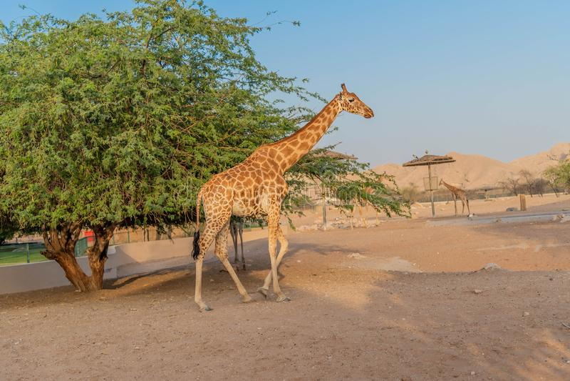 Girafa alto animal selvagem bonito em Al Ain Zoo Safari Park, Emiratos ?rabes Unidos imagem de stock