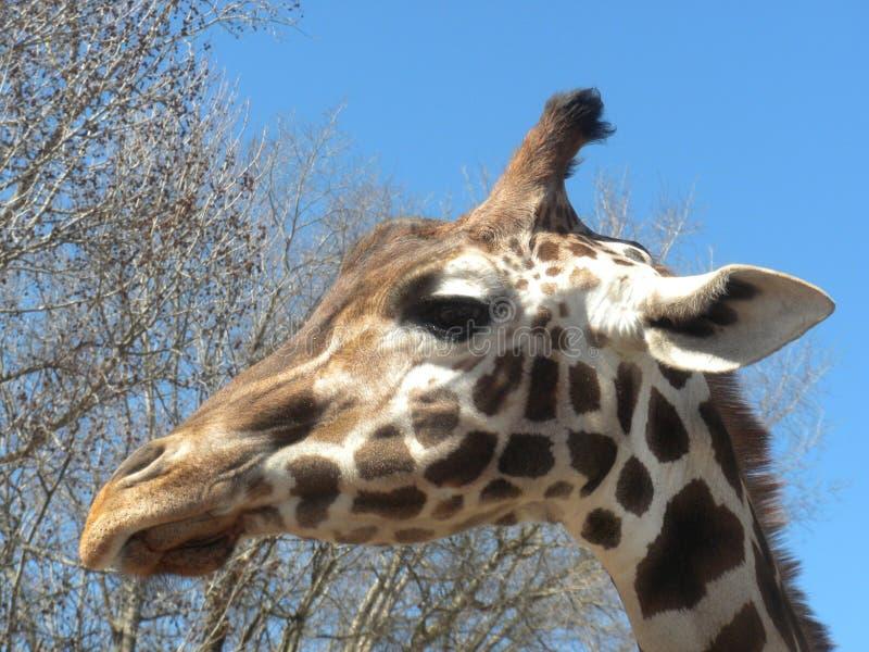 Girafa amigável imagem de stock royalty free