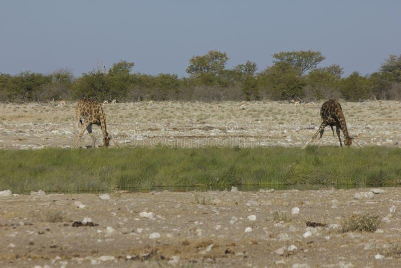Girafa bebendo, Namíbia foto de stock