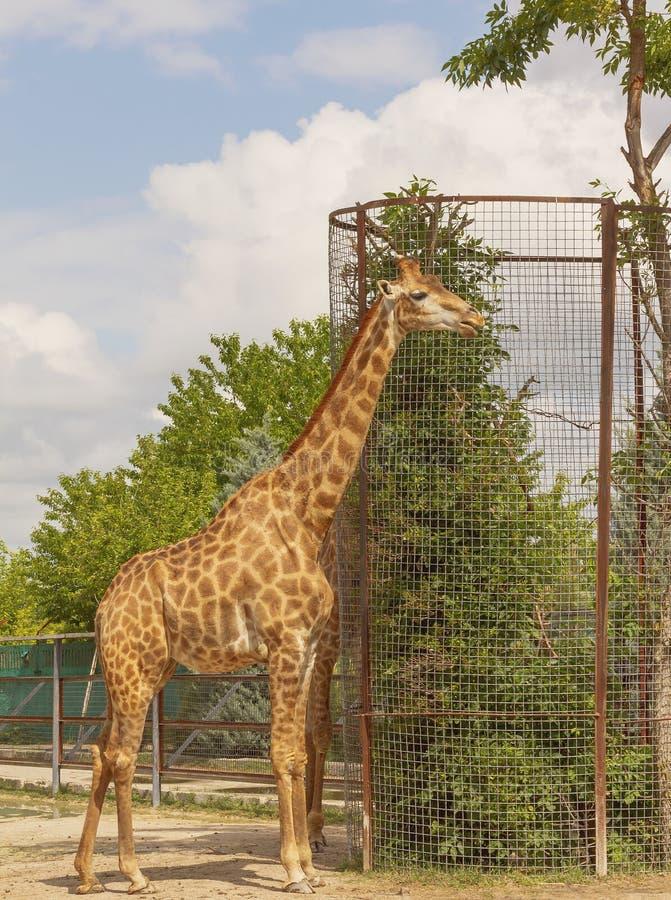 Girafa bonito no suporte completo do crescimento em um grande cerco imagens de stock royalty free