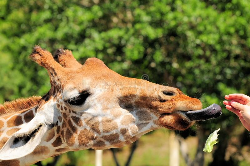 Girafa com língua para fora foto de stock royalty free