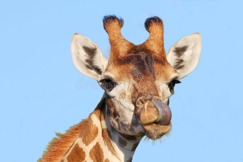Girafa com a língua roxa longa fotografia de stock royalty free