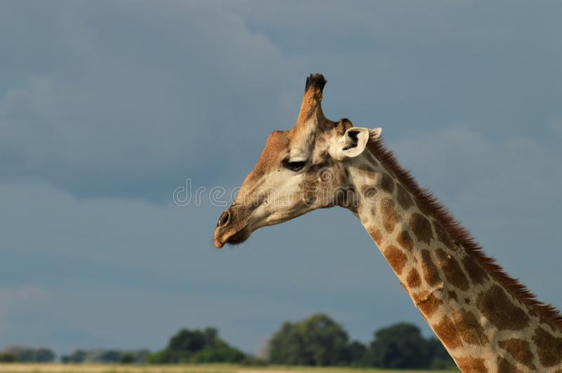 Girafa contra o céu azul imagens de stock