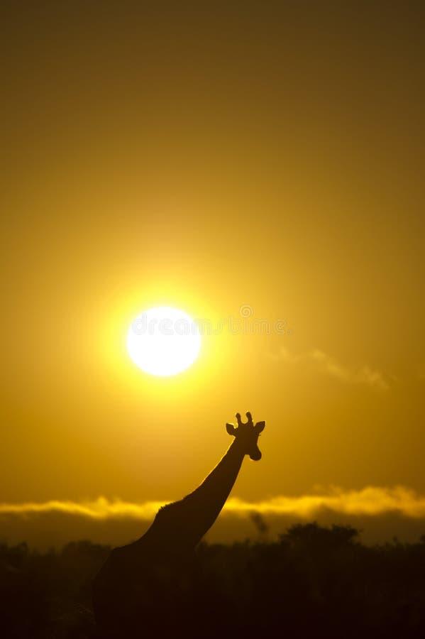 Girafa contra um nascer do sol africano imagens de stock royalty free