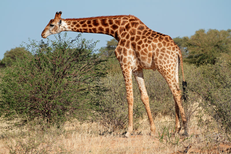 Girafa de alimentação foto de stock royalty free
