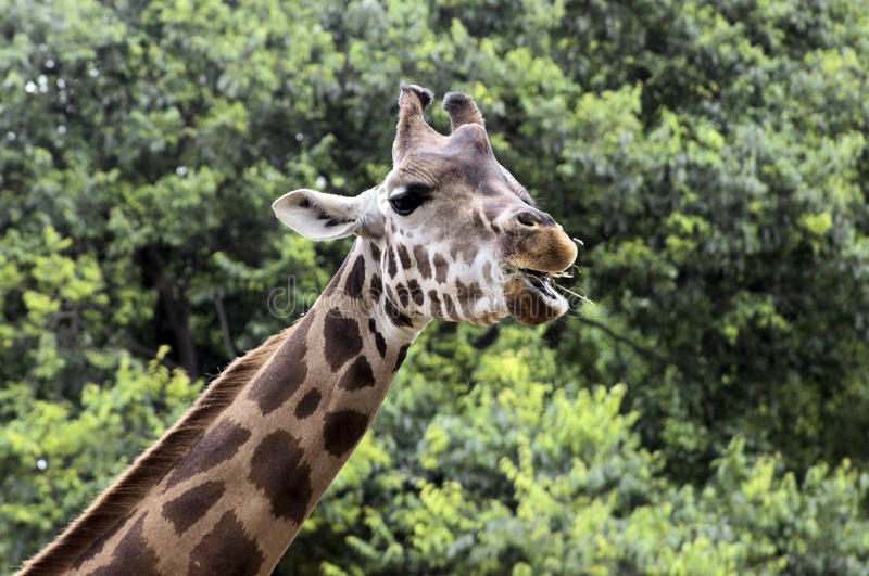 Girafa de Baringo foto de stock royalty free