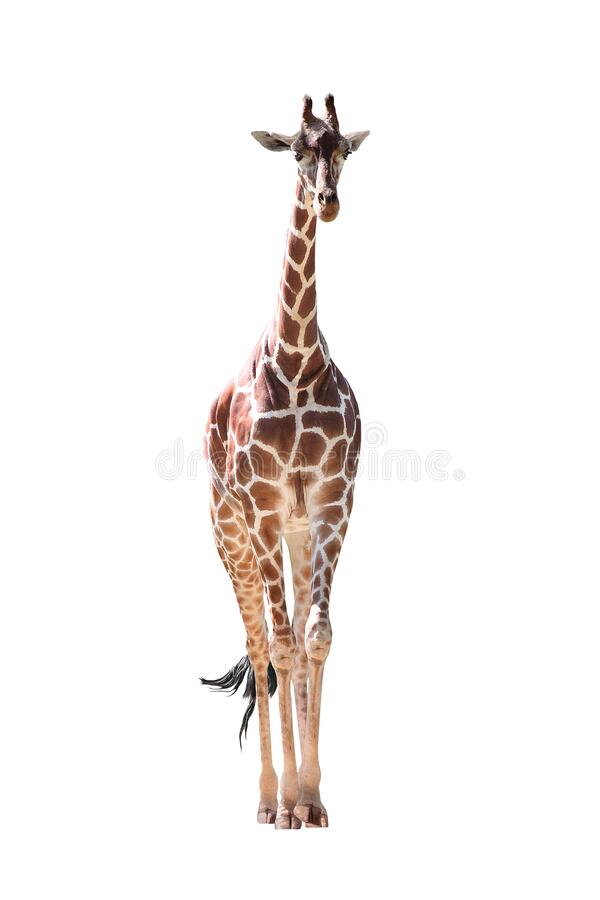 Girafa de corpo inteiro isolada em branco foto de stock royalty free