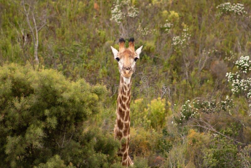Girafa de Pekaboo: girafee f?mea bonito e engra?ado super do beb?, espreitando o thorugh o arbusto africano imagem de stock royalty free