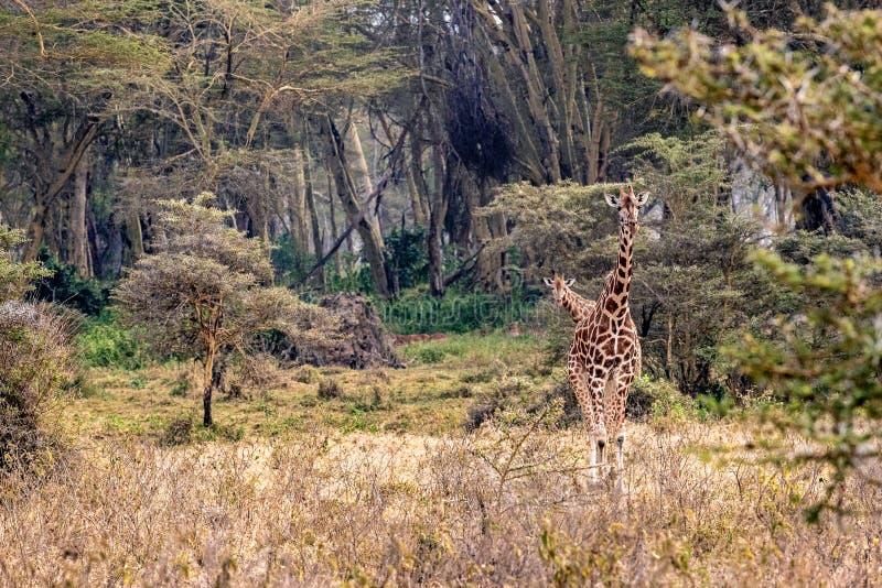 Girafa de Rothschild que anda através do lago Nakuru Kenya fotografia de stock royalty free
