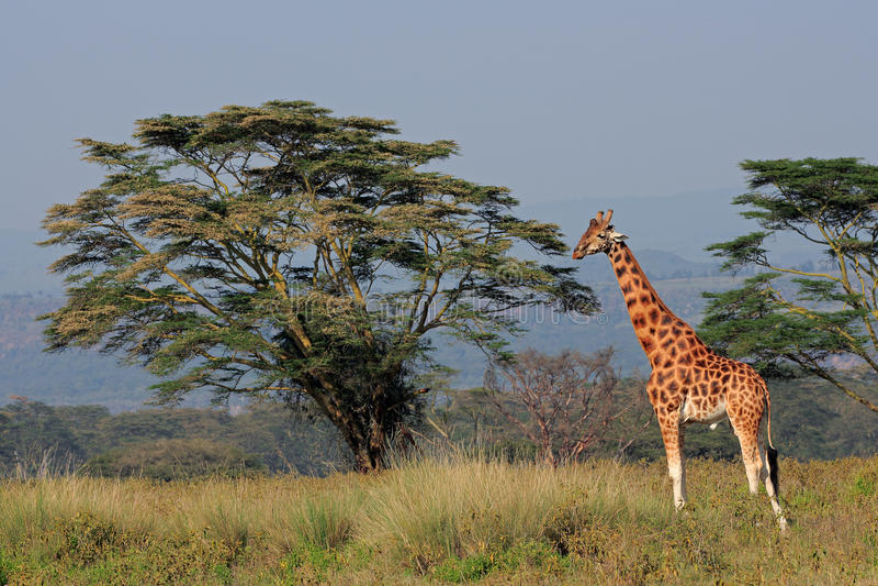 Girafa de Rothschilds imagens de stock