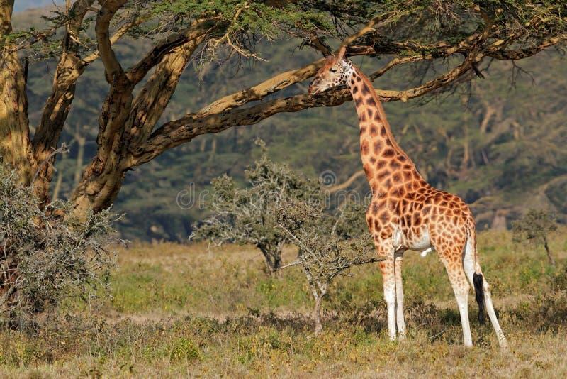 Girafa de Rothschilds fotografia de stock