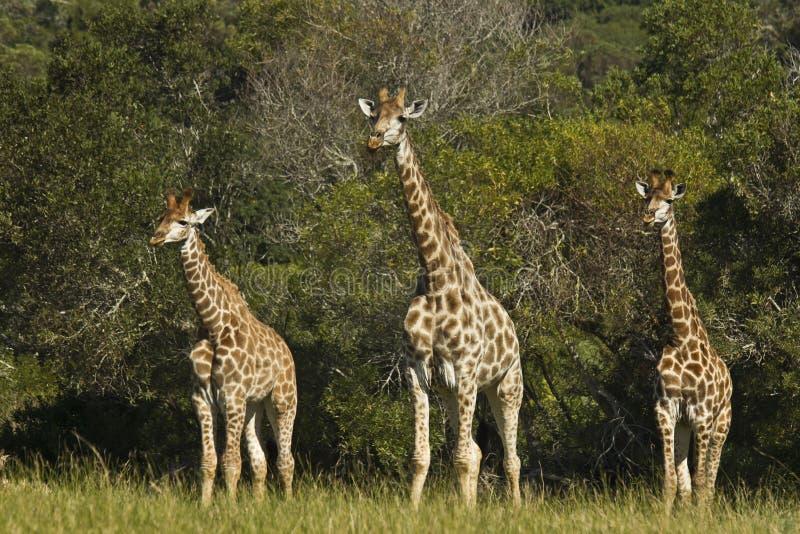 Girafa de três jovens fotografia de stock