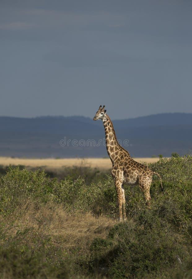 Girafa de Watchfull no Masai Mara imagem de stock