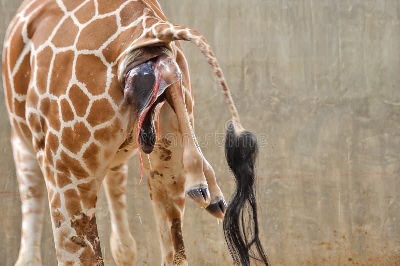 Girafa do bebê fotos de stock