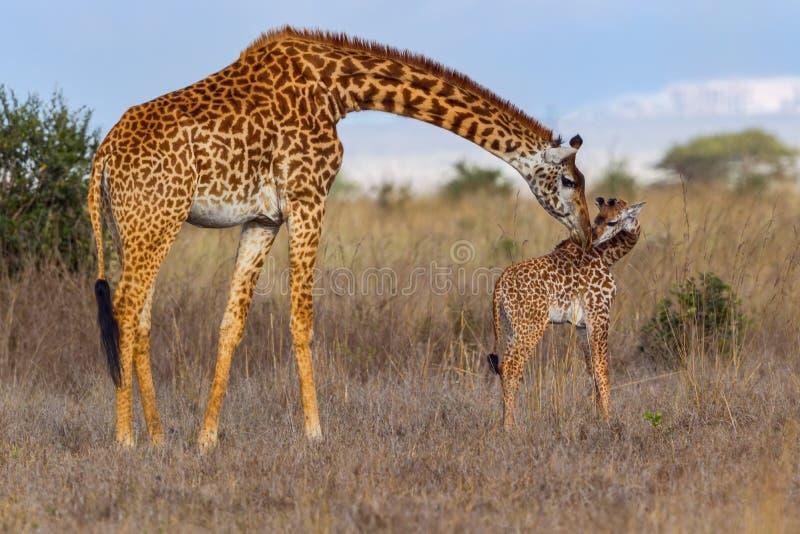 Girafa do Masai da mãe que beija o bebê fotos de stock