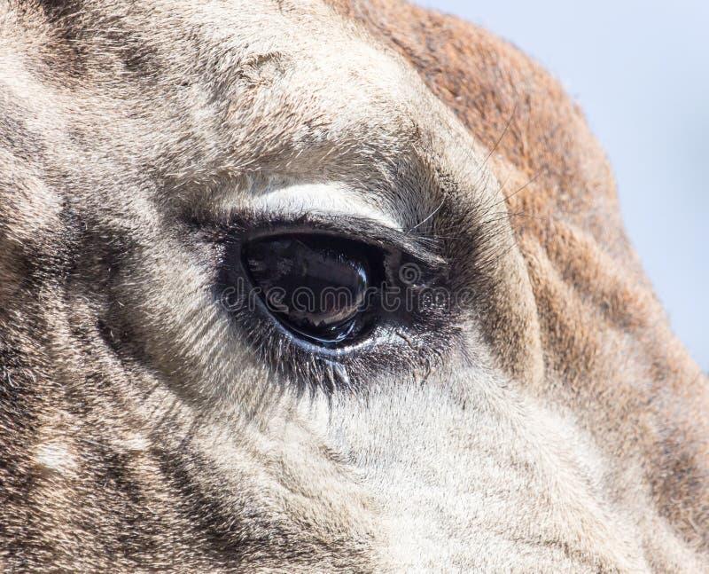 Girafa do olho fotos de stock