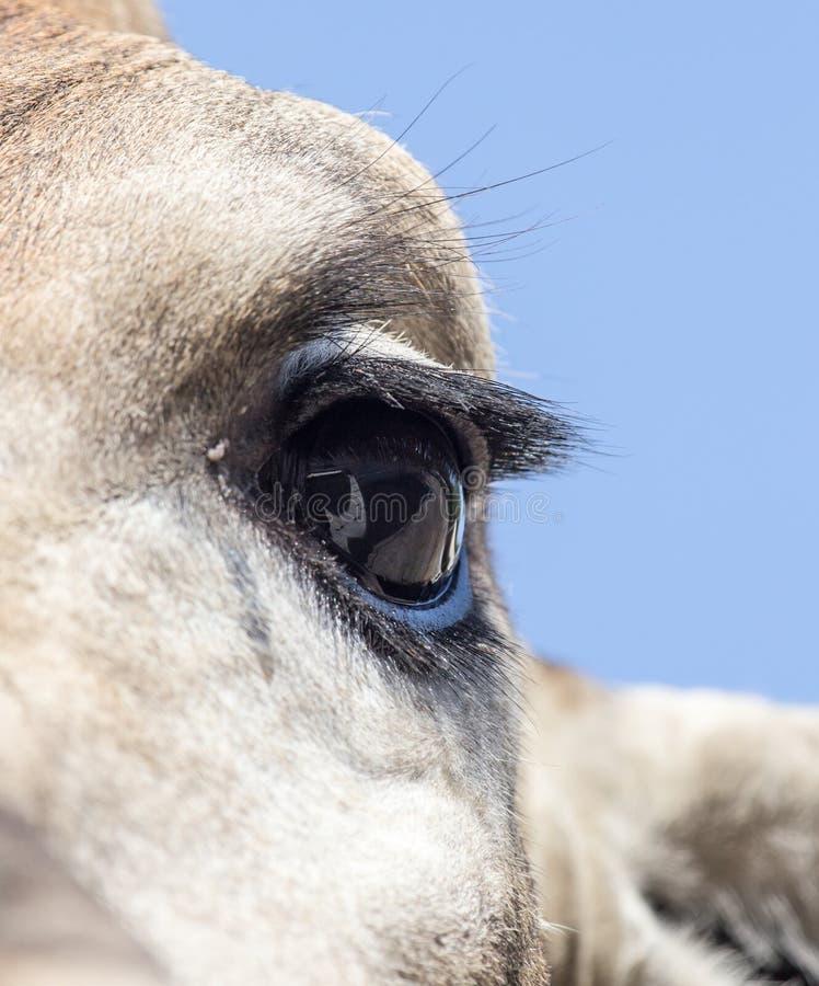 Girafa do olho imagens de stock royalty free