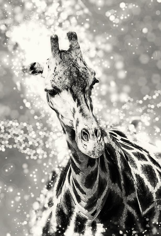 Girafa do ` s de Rothschild com o fundo cintilante, incolor fotos de stock royalty free