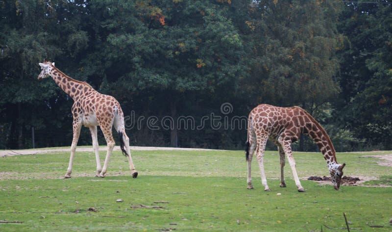 Girafa do ` s de Rothschild, rothschildi dos camelopardalis do Giraffa imagens de stock royalty free