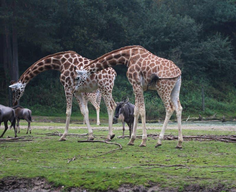 Girafa do ` s de Rothschild, rothschildi dos camelopardalis do Giraffa fotos de stock royalty free