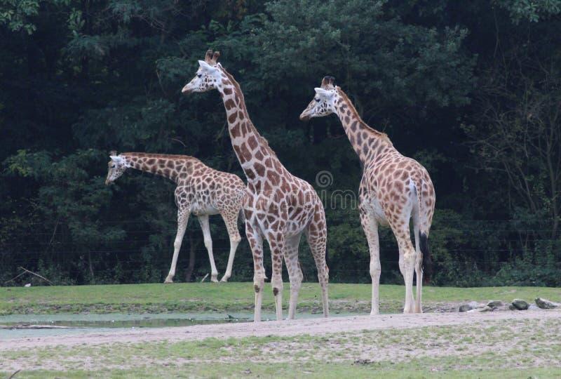 Girafa do ` s de Rothschild, rothschildi dos camelopardalis do Giraffa fotos de stock