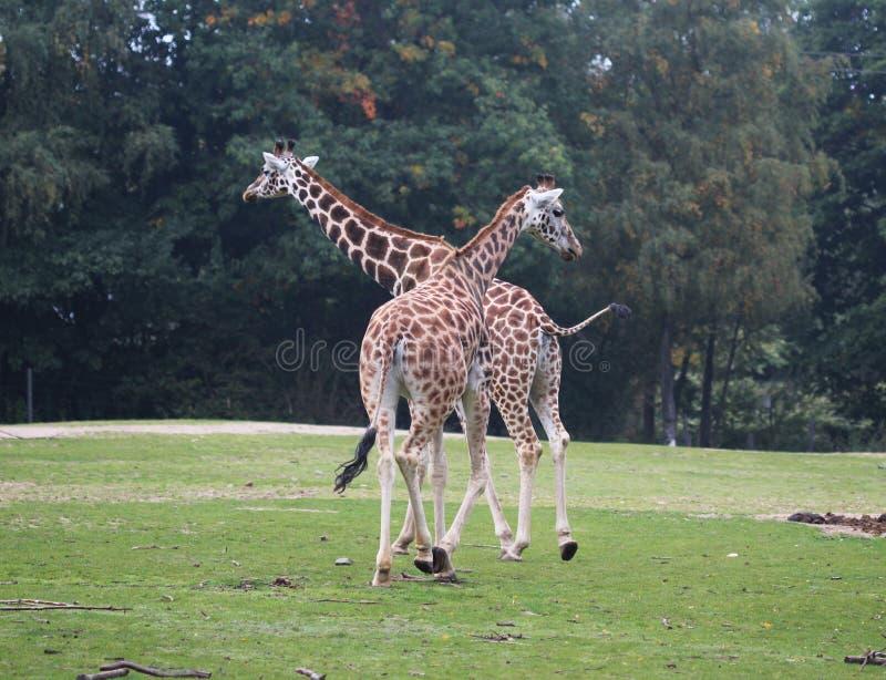 Girafa do ` s de Rothschild, rothschildi dos camelopardalis do Giraffa foto de stock royalty free