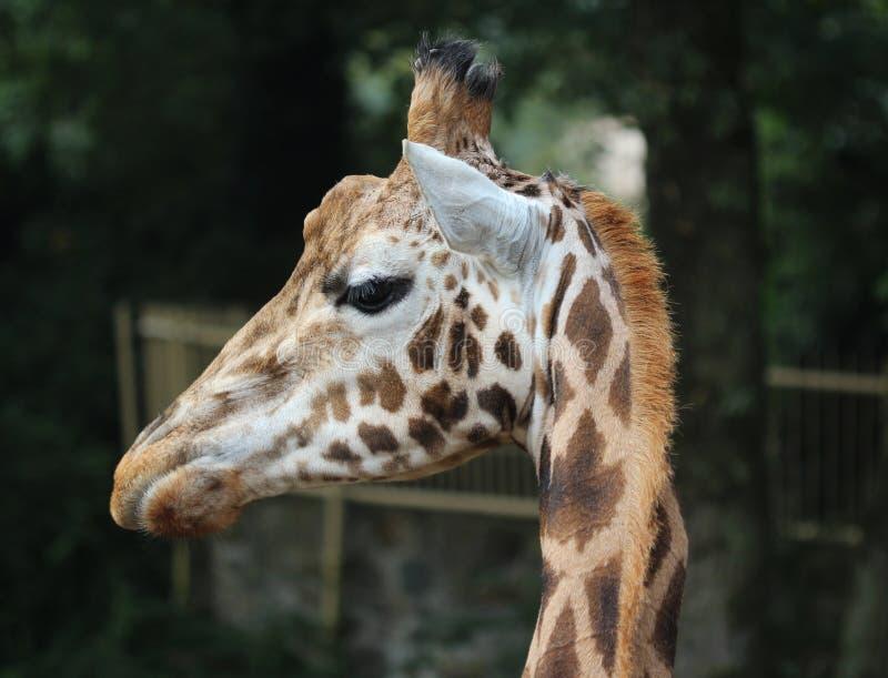 Girafa do ` s de Rothschild, rothschildi dos camelopardalis do Giraffa imagens de stock