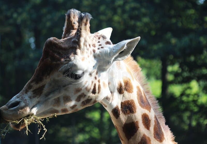 Girafa do ` s de Rothschild, rothschildi dos camelopardalis do Giraffa fotografia de stock royalty free
