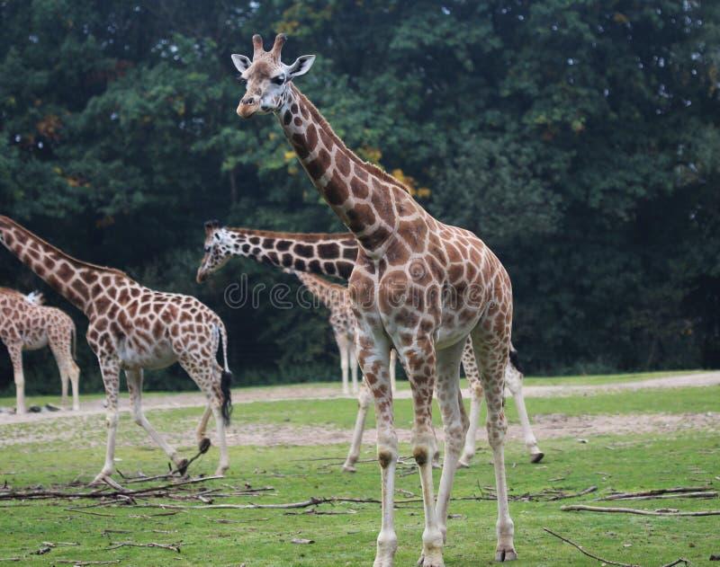 Girafa do ` s de Rothschild, rothschildi dos camelopardalis do Giraffa fotografia de stock