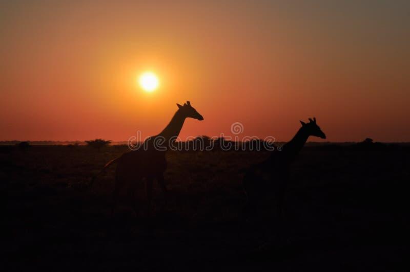 Girafa dois selvagem no por do sol no savana africano imagem de stock royalty free